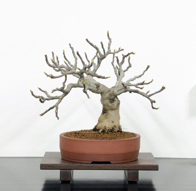 Ficus-Carica - Pagina 10 Fronte16