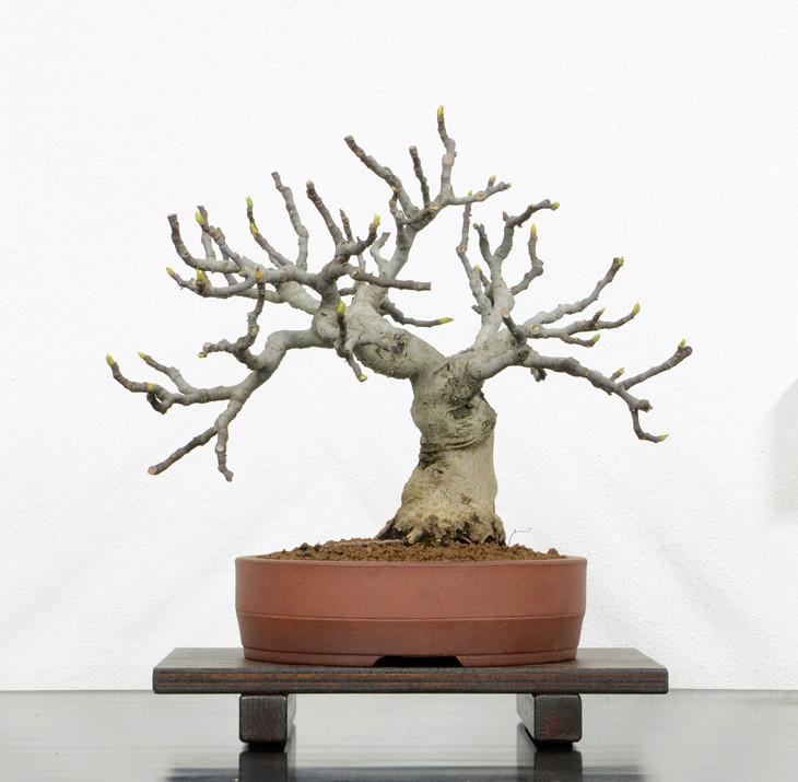 Ficus-Carica - Pagina 10 Fronte20