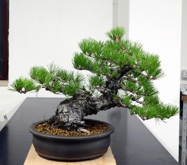 Pino Nero Giapponese 2 - Pinus Thumbergii 2 Fronte29