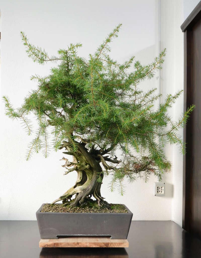 Juniperus Rigida Giapponese (Tosho) Fronte33