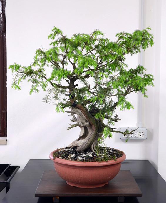 Juniperus Rigida Giapponese (Tosho) Fronte34