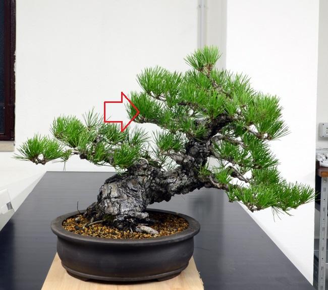 Pino Nero Giapponese 2 - Pinus Thumbergii 2 Fronte35