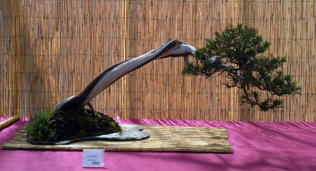 Oltre Il Verde - Bonsai Competition 6 Ginepr12