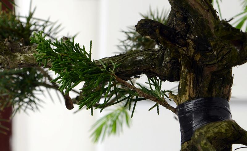 Juniperus Rigida Giapponese (Tosho) Innest10