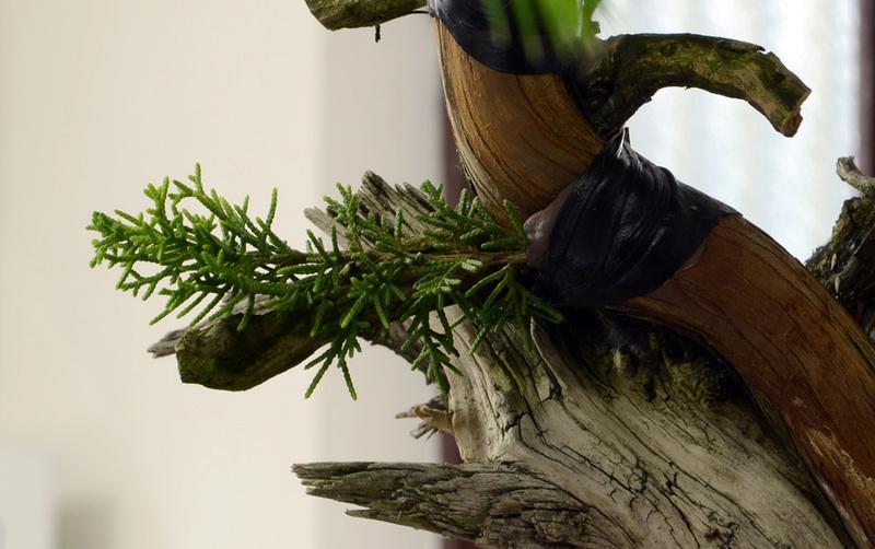 Juniperus Rigida Giapponese (Tosho) Innest11