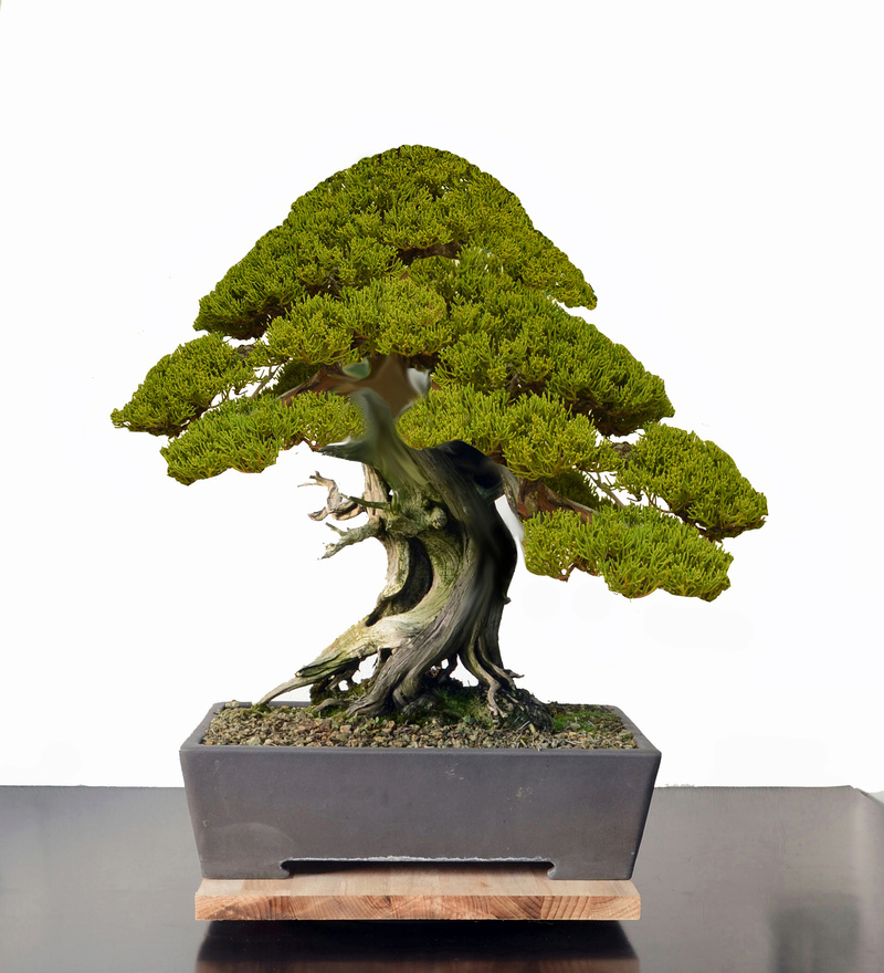 Juniperus Rigida Giapponese (Tosho) Junipe11