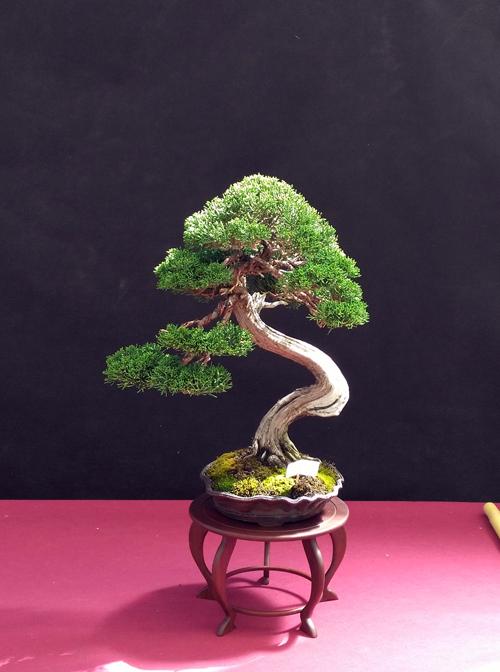 Oltre Il Verde - Bonsai Competition 6 Junipe15