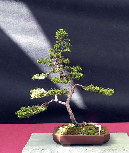 Oltre Il Verde - Bonsai Competition 6 Junipe17