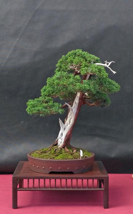 Oltre Il Verde - Bonsai Competition 6 Junipe19