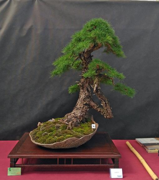 Oltre Il Verde - Bonsai Competition 6 Larice10