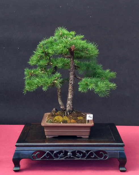 Oltre Il Verde - Bonsai Competition 6 Larice11