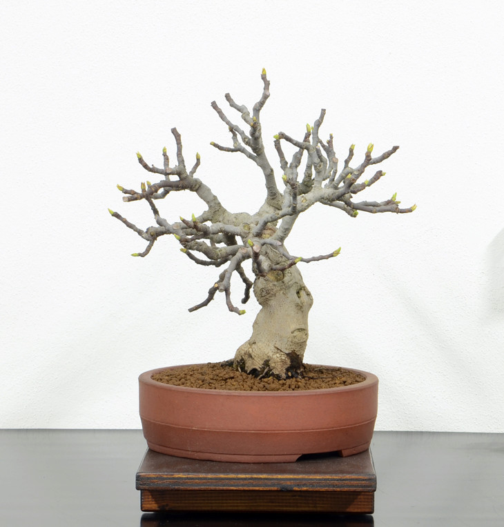 Ficus-Carica - Pagina 10 Lato-d10