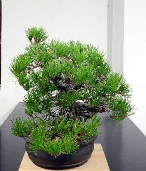 Pino Nero Giapponese 2 - Pinus Thumbergii 2 Lato-d18