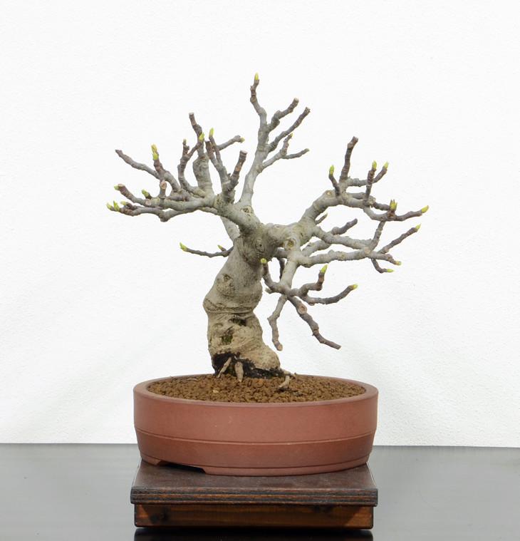 Ficus-Carica - Pagina 10 Lato-s10