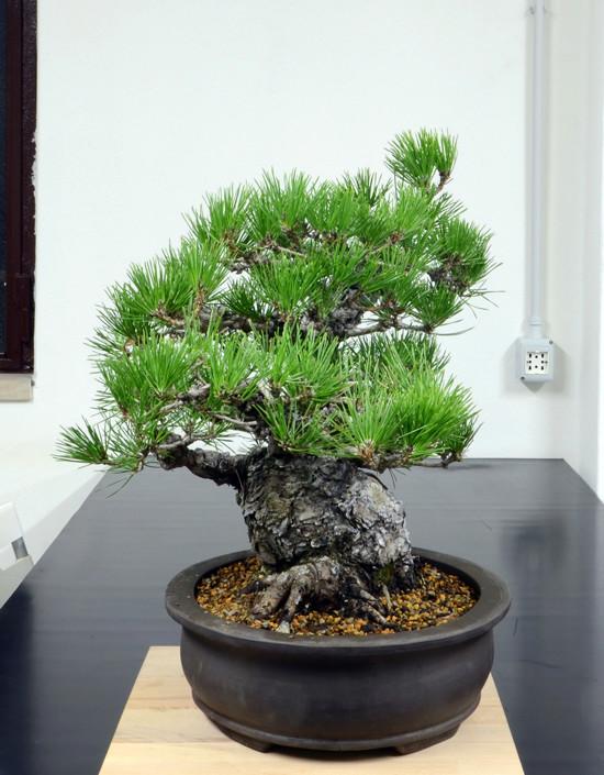 Pino Nero Giapponese 2 - Pinus Thumbergii 2 Lato-s18