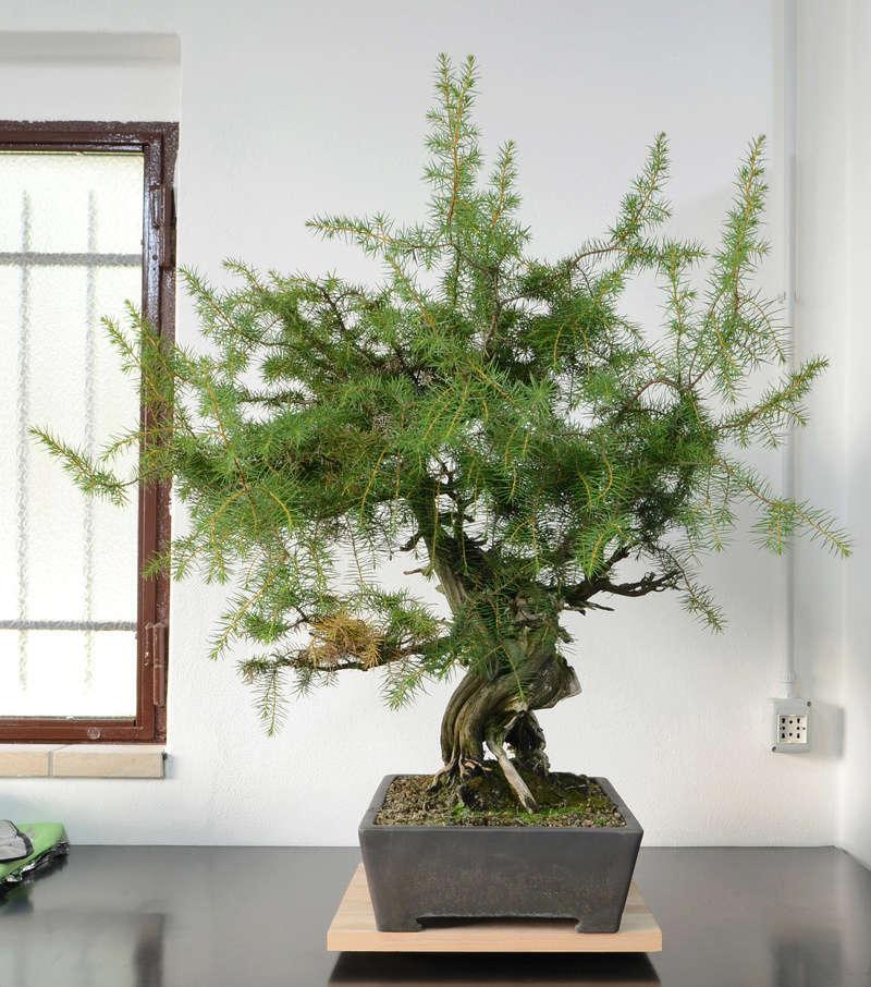 Juniperus Rigida Giapponese (Tosho) Lato_d10