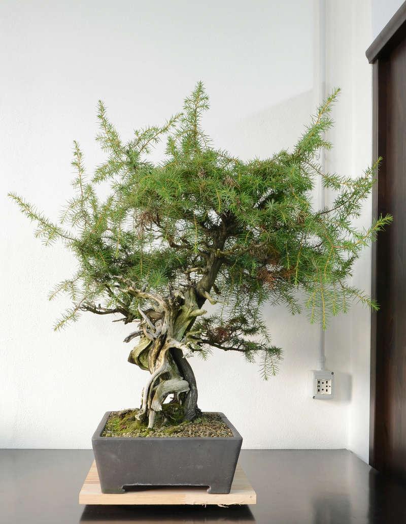 Juniperus Rigida Giapponese (Tosho) Lato_s10