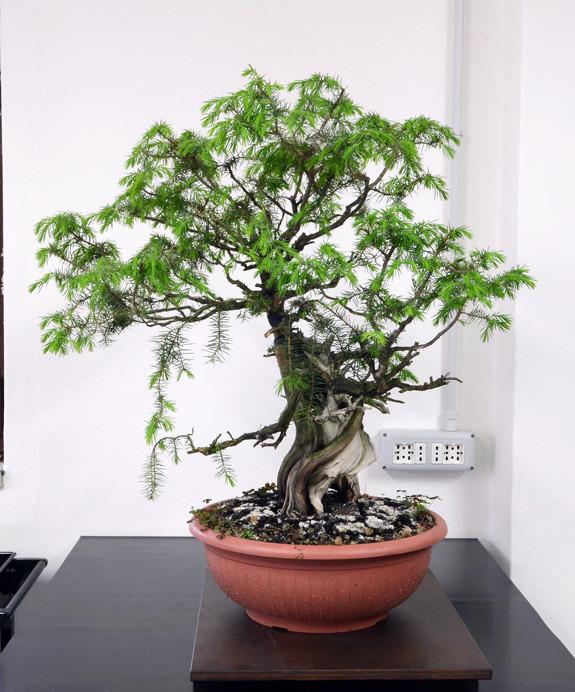 Juniperus Rigida Giapponese (Tosho) Latodx10