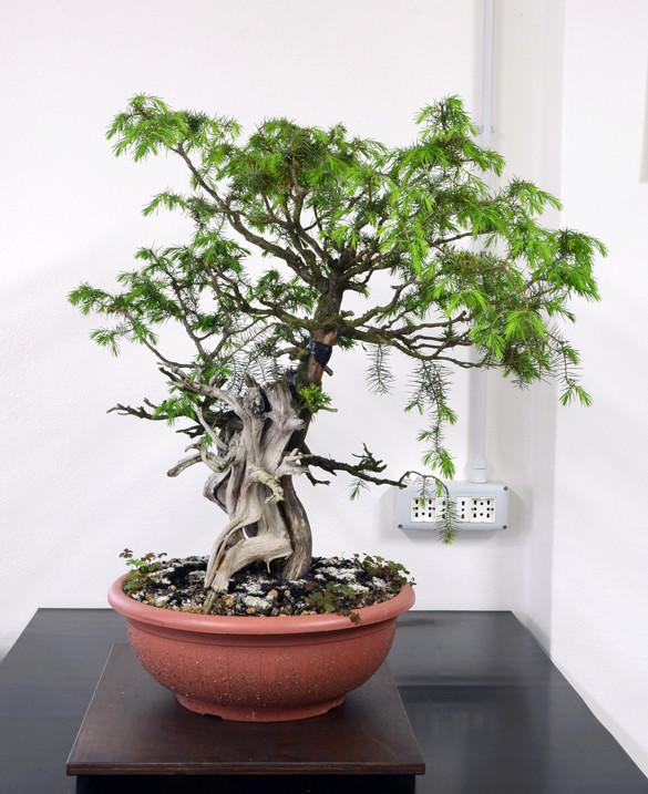 Juniperus Rigida Giapponese (Tosho) Latosx10