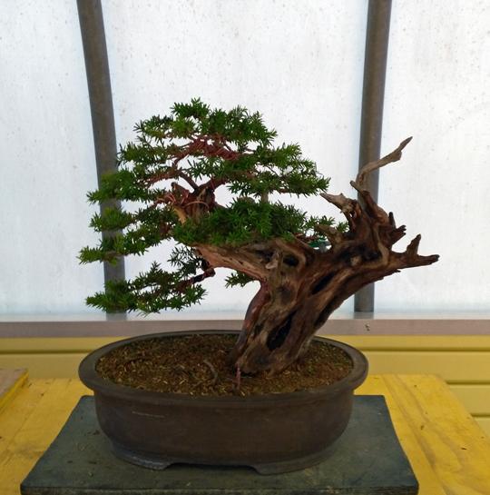 Oltre Il Verde - Bonsai Competition 6 Lavora12