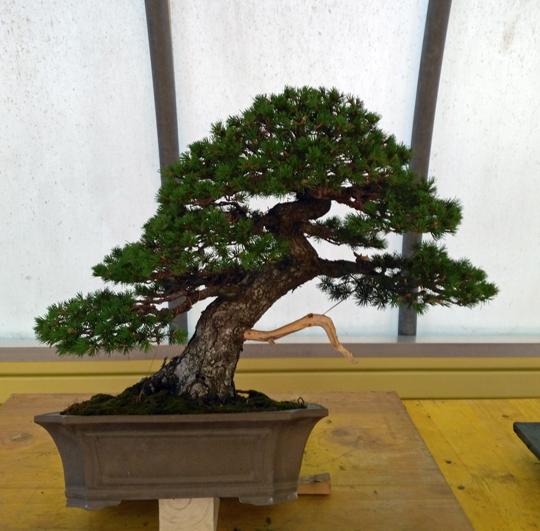 Oltre Il Verde - Bonsai Competition 6 Lavora13