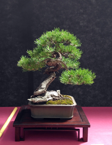 Oltre Il Verde - Bonsai Competition 6 Mugo10