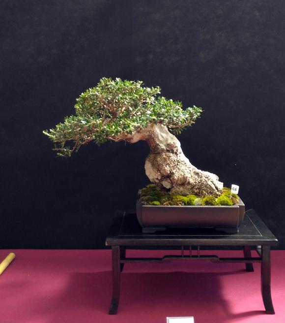 Oltre Il Verde - Bonsai Competition 6 Olivas10