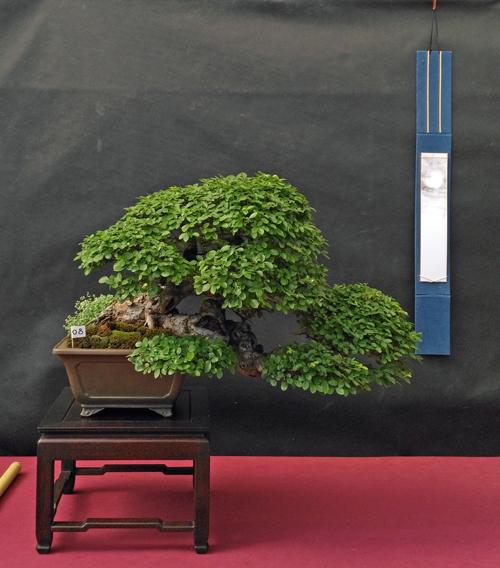 Oltre Il Verde - Bonsai Competition 6 Olmo-610