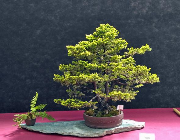 Oltre Il Verde - Bonsai Competition 6 Picea-10