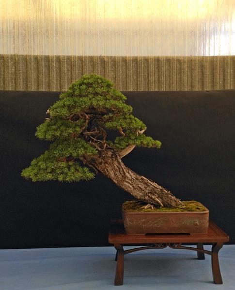 Oltre Il Verde - Bonsai Competition 6 Pino-211