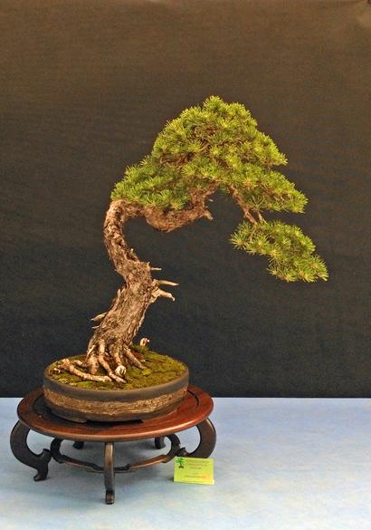 Oltre Il Verde - Bonsai Competition 6 Pino-311