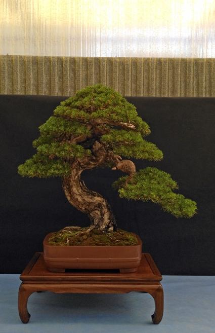 Oltre Il Verde - Bonsai Competition 6 Pino-411