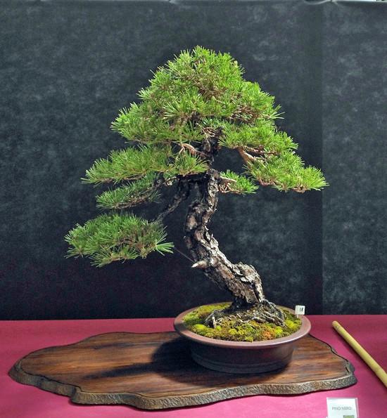 Oltre Il Verde - Bonsai Competition 6 Pino-n10