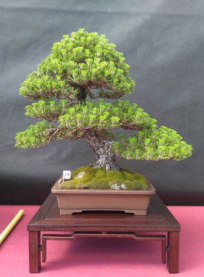Oltre Il Verde - Bonsai Competition 6 Pino-n11