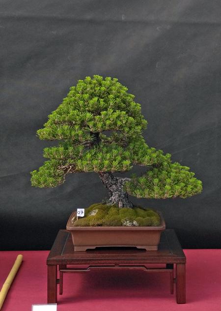Oltre Il Verde - Bonsai Competition 6 Pino-n12