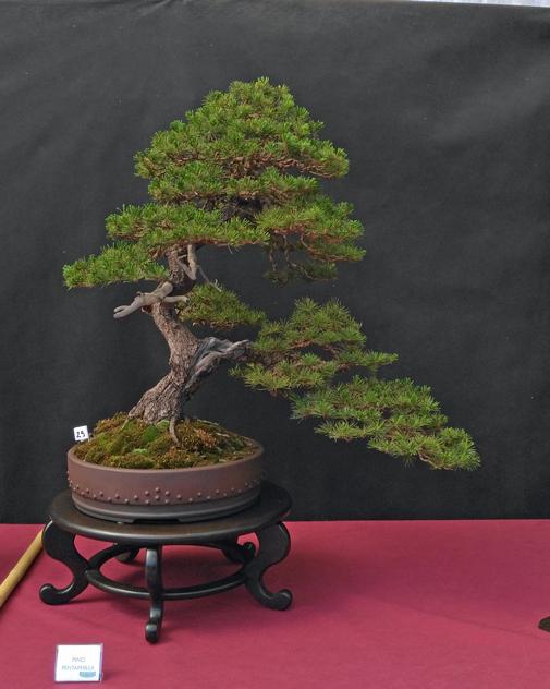 Oltre Il Verde - Bonsai Competition 6 Pino-p10