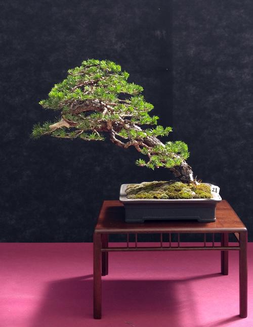 Oltre Il Verde - Bonsai Competition 6 Pino-s10