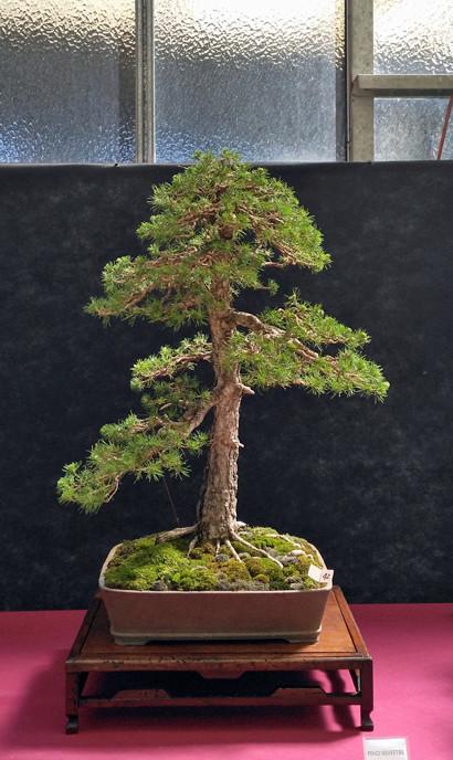Oltre Il Verde - Bonsai Competition 6 Pino-s11