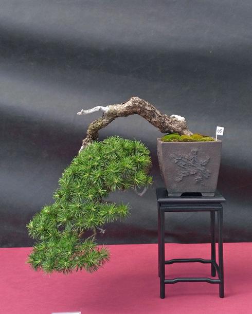 Oltre Il Verde - Bonsai Competition 6 Pino-s12