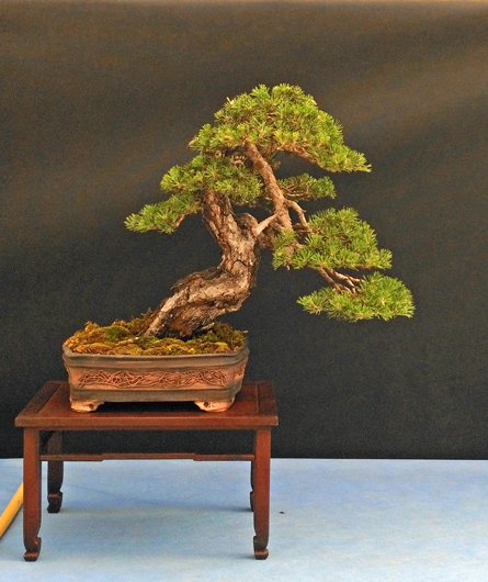 Oltre Il Verde - Bonsai Competition 6 Pino-s13