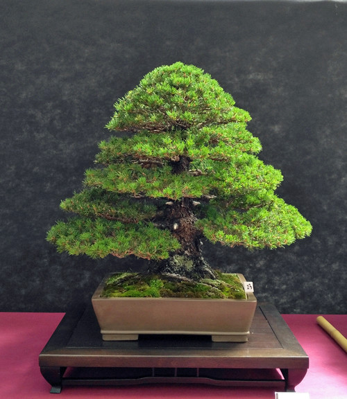 Oltre Il Verde - Bonsai Competition 6 Pinus-10