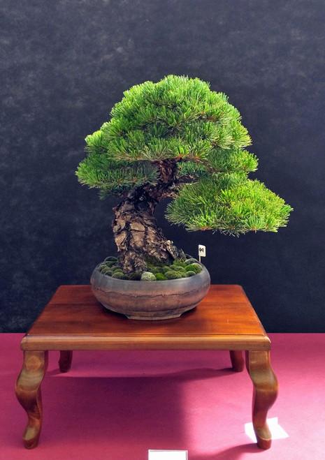 Oltre Il Verde - Bonsai Competition 6 Pinus-11