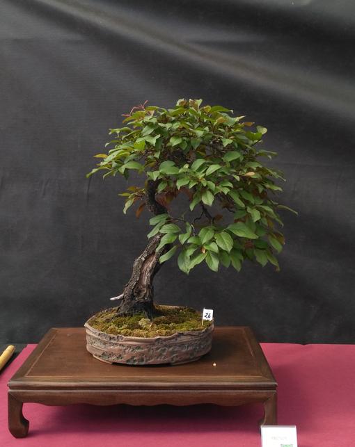 Oltre Il Verde - Bonsai Competition 6 Prunus10