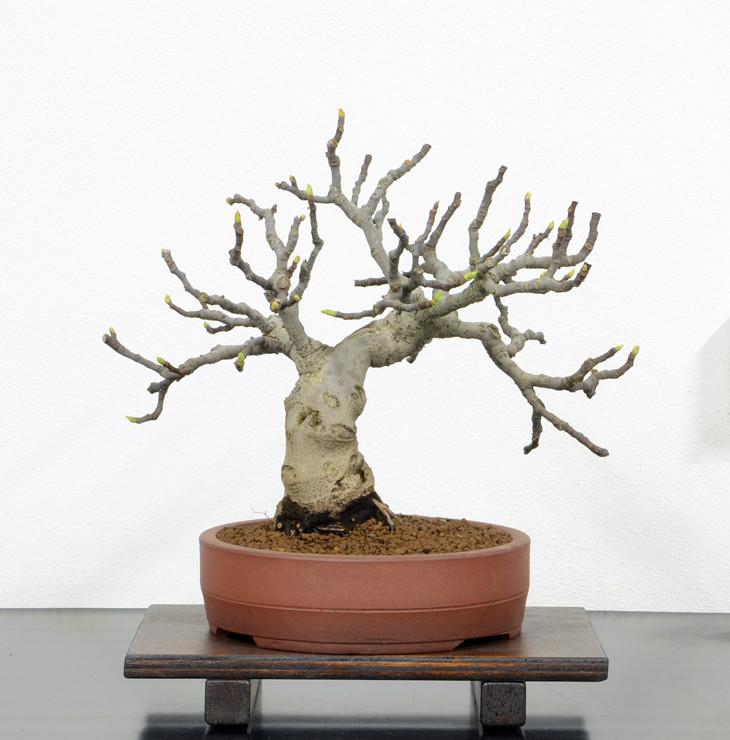 Ficus-Carica - Pagina 10 Retro-10