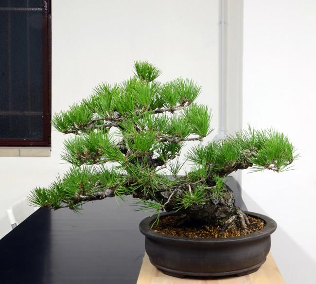 Pino Nero Giapponese 2 - Pinus Thumbergii 2 Retro-17