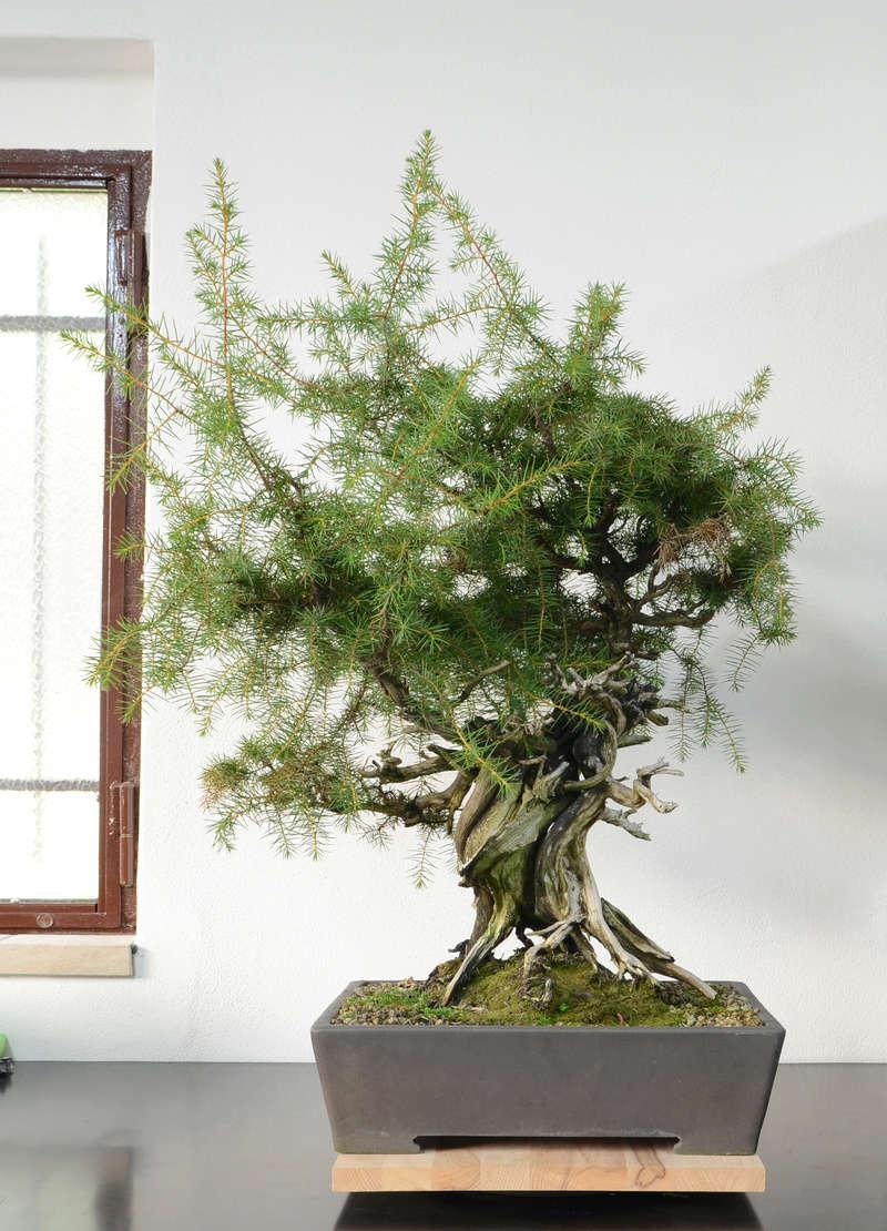 Juniperus Rigida Giapponese (Tosho) Retro10