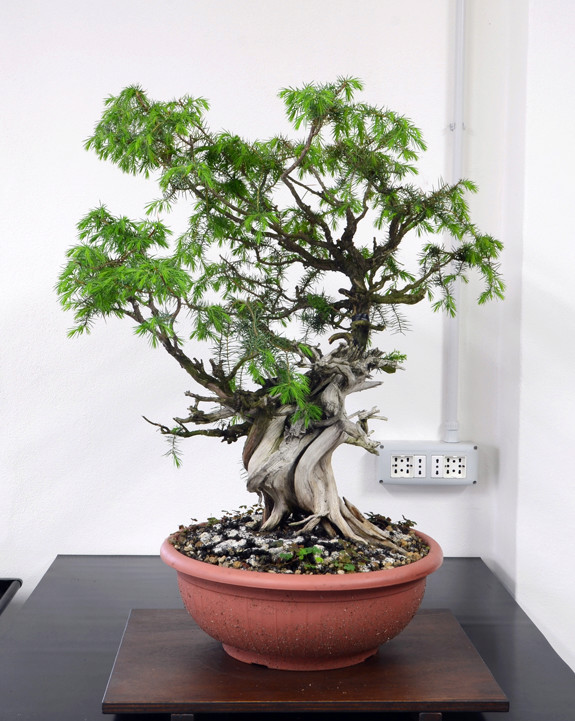 Juniperus Rigida Giapponese (Tosho) Retro_12