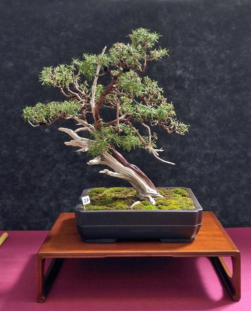 Oltre Il Verde - Bonsai Competition 6 Rosmar11