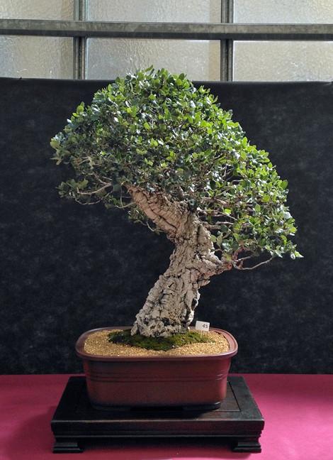 Oltre Il Verde - Bonsai Competition 6 Sugher10