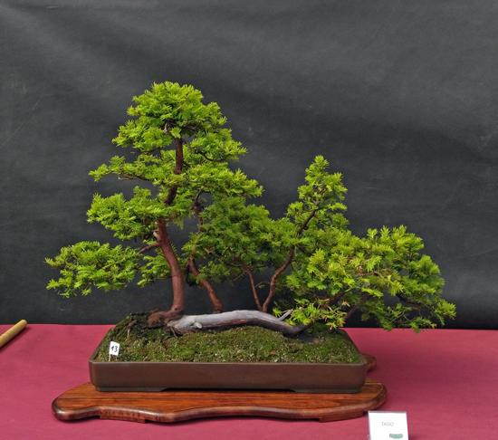 Oltre Il Verde - Bonsai Competition 6 Tasso-10